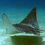 Eagle Ray Punta Cana Dominican Republic